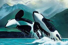 Orca Killer Whales Jumping