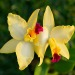 orchid flower meaning