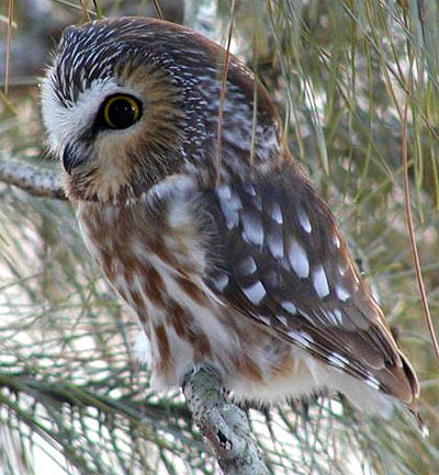 owl spirit animal