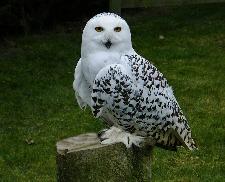 owl spirit animal totem