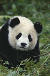 panda bear totem animal