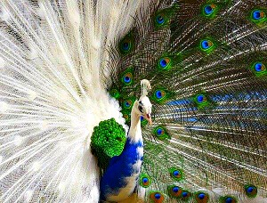 beautiful  white peacock...