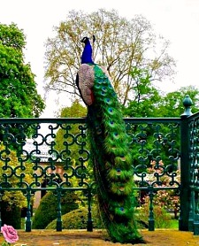 spectacular Peacock spirit animal