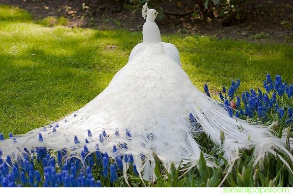 White Peacock Symbolism | White Peacock Meaning