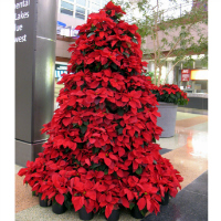poinsetta - symbols of christmas