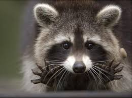 Adorable Raccoon