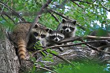 Raccoon family in a tree