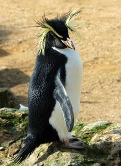 rock hopper penguin