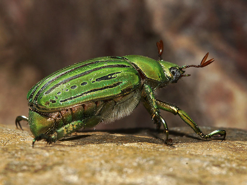 green horned scarab