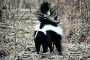 Skunk Totem Animal