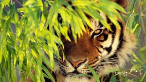 tiger spirit animal