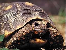 desert tortoise totem