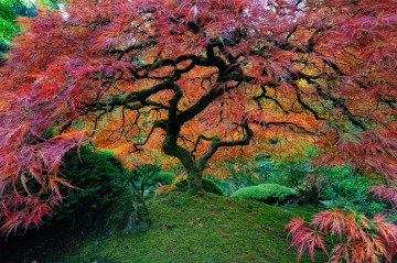 Japanese Maple in Portland Garden