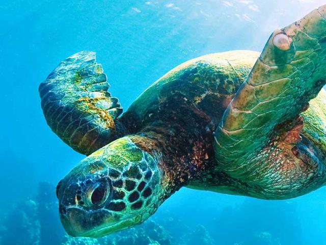 Sea Turtle spirit animal meaning and symbolism