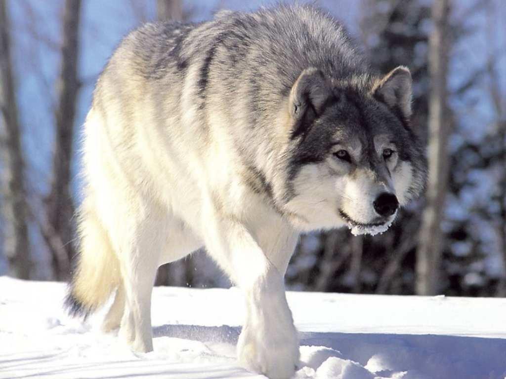 Wolf symbolism meaning wolf spirit totem power animal biocorpaavc