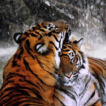 tiger spirit animals