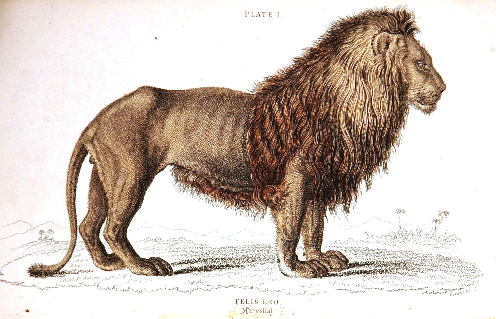 Lion Tattoo Idea, a fine vintage rendering of a male Lion