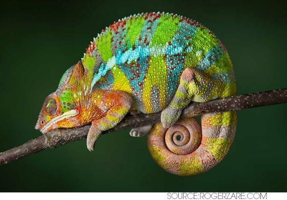 Chameleon Symbolism ~ Spirit Animal Totem Medicine