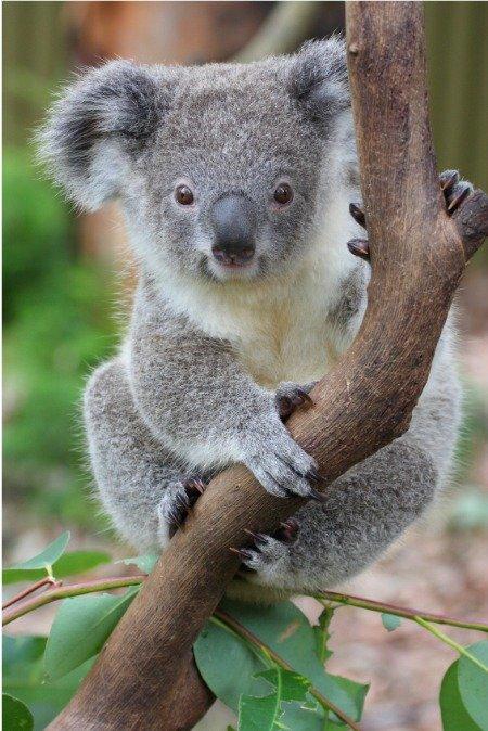 koala meaning