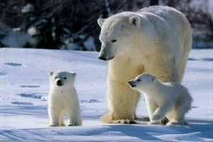 Polar Bear Totem Animal with Cubs