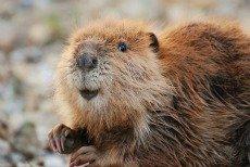 Beaver Symbol