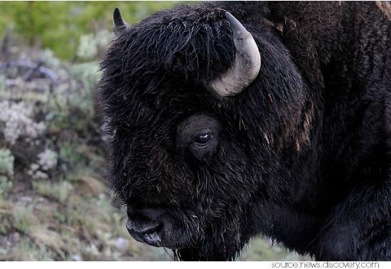 Bison Totem Animal