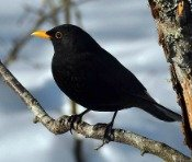blackbird meaning