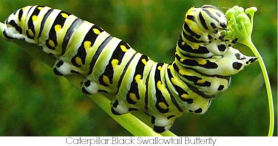 Caterpillar Symbolism & Meaning