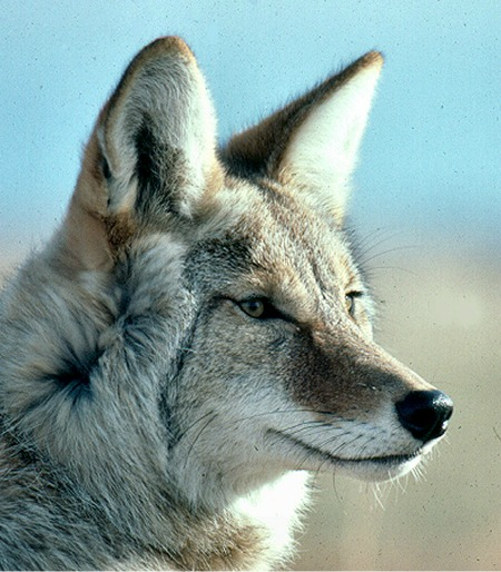 coyote gazing into the unknown