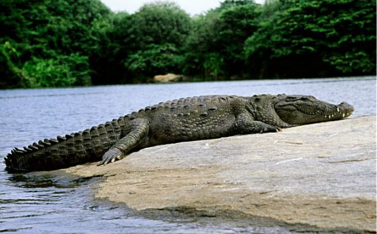 Crocodile Symbolism & Totem Powers