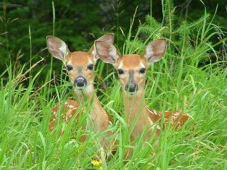 Deer Symbol of Innocence