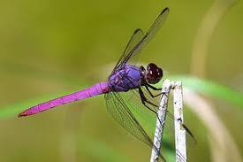 Dragonfly Dream Interpretation and Symbolism