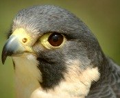 falcon bird meaning
