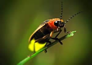 firefly spirit animal