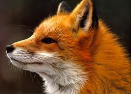 fox spirit animal