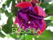 fuschia flower oracle