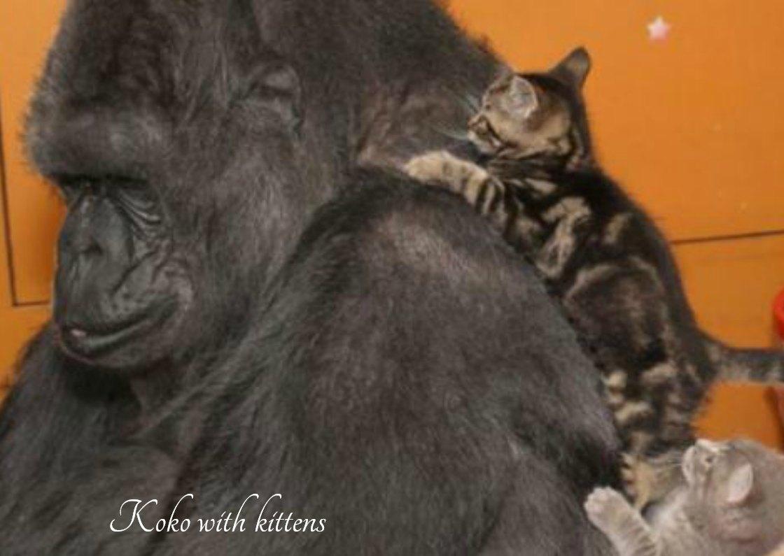 Koko the Gorilla with kittens