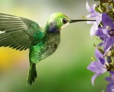 hummingbird symbol of love