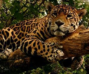 Jaguar Power Animal