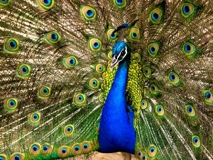 gorgeus peacock displaying tail feathers