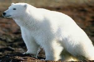 Polar Bear Spirit Animal