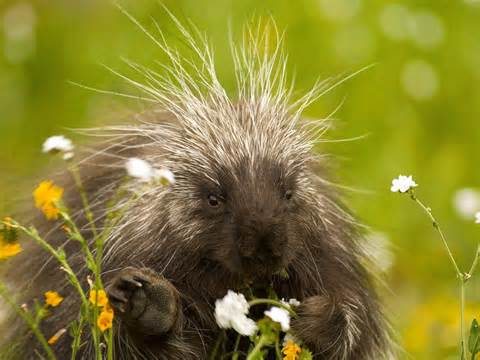 porcupine in a field of flowers