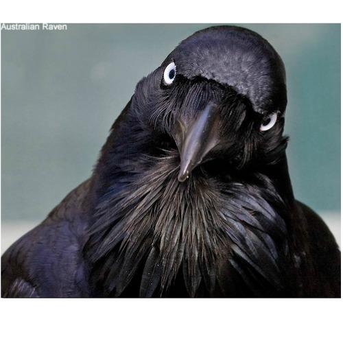 Raven Symbolism & Meaning | Spirit Totem & Power Animal