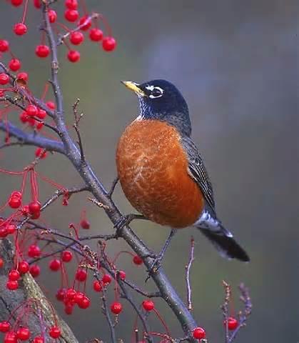Robin bird symbol