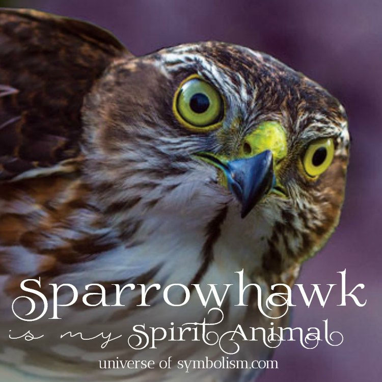 Sparrowhawk Symbolism & Sparrowhawk Meaning | Sparrowhawk Spirit, Power & Totem Animal Medicine & Magic