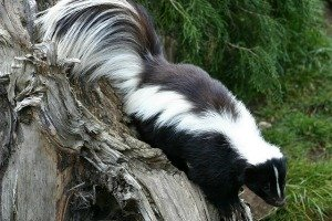 Skunk Spirit Animal