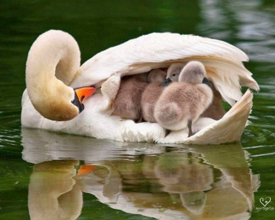 swan with babies
