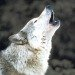 wolf symbolism and spiritual meaning of wolf