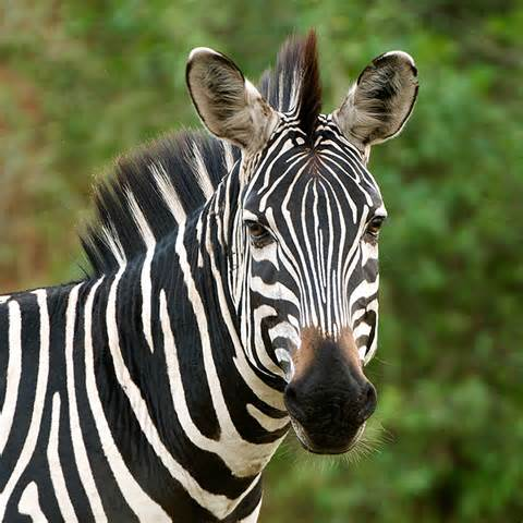 Zebra Symbolism Zebra Meaning Spirit Animal Powers